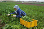 """Quỹ Hỗ trợ nông dân-nguồn vốn """"đỡ đầu"""" để nông dân mạnh dạn trồng rau sạch, nuôi những đàn bò tiền tỷ"""