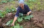 Ninh Bình: Trồng dưa chuột bò mặt đất, trồng như chơi mà thu hàng tấn trái, lời gấp 5-6 lần so với cấy lúa