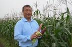 Hà Nội: Trồng giống ngô sang chảnh có thể ăn sống ngay tại ruộng, ông nông dân ngồi chờ thu lãi hàng trăm triệu đồng