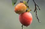 Chiêm ngưỡng vườn hồng Đà Lạt chín mọng đỏ cành