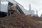 Kom Tum: Nông dân vùng ngập nhổ sắn vẫn được các nhà máy thu mua để chế biến