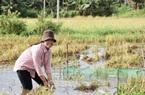 Gia Lai: Nuôi cá ở đồng bỏ hoang, chả tốn thức ăn, nông dân vùng này bán đắt hàng