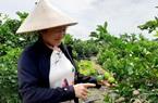 Long An: Đây là nông dân đầu tiên trồng chanh không hạt ở Việt Nam mà nên danh tỷ phú