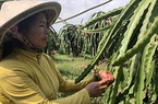Đáng ngại, loài ốc này bò dày đặc, nông dân tỉnh Bình Thuận xịt thuốc, rải bả không ăn thua phải thức đêm bắt tay