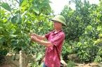 Tuyên Quang: Ông tỷ phú nông dân này ghép cam lên gốc bưởi, bất ngờ hái tới 60 tấn quả, lãi ròng 1,2 tỷ