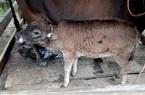 Bắc Kạn: Bệnh viêm da nổi cục trên trâu, bò tiếp tục lây lan tại địa bàn giáp ranh với tỉnh Cao Bằng