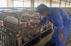 Giá lợn hơi hôm nay (1/12): Giao động trong mức 66.000 - 72.000 đồng/kg