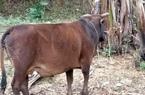 Huyện thứ 3 của tỉnh Bắc Kạn phát hiện ổ dịch viêm da nổi cục trên trâu bò