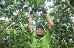"""Long An: """"Liều"""" trồng cam sành trên đất phèn, ông nông dân này bất ngờ """"trúng số"""" vì cây nào cũng ra trái quá trời"""