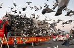 Ảnh: Thú đua chim bồ câu tốn kém tại Trung Quốc