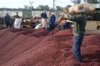 Giá nông sản hôm nay (12/12): Giá lợn hơi Vĩnh Phúc tăng vọt, cà phê điều chỉnh đồng loạt