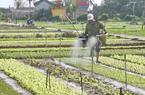 Làng rau Trà Quế: 2 sào rau thu hơn 500.000 đồng/ngày