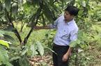 """Đồng Nai: Loài cây chỉ xếp hạng """"trồng xen"""", làm ra thứ bột đắng ngắt, thế mà nhiều người thành tỷ phú"""