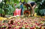 Giá nông sản hôm nay (19/12): Giá cà phê không giữ được mức 33.000 đồng/kg, giá lợn hơi điều chỉnh nhẹ