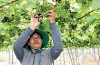 Ninh Thuận: Trồng cây nho lạ ghép lên gốc cây nho dại, ra trái quá trời, quả xanh lét mà ăn vừa ngọt vừa thơm