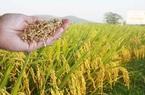 Những tỉnh nào được hỗ trợ miễn phí hạt giống để khắc phục thiệt hại do thiên tai?