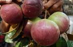 Sóc Trăng: Nông dân liên kết trồng đặc sản vú sữa tím, giá bán cao gần gấp đôi