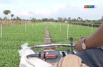 Trồng rau muống sạch bằng robot, nông dân Cần Thơ vừa nhàn vừa có về lãi lớn