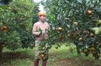 Hòa Bình: Trồng ra những quả cam mùi vị đặc biệt, nông dân Cao Phong cắn răng bán giá rẻ vì điều này