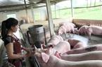 """""""Dính"""" thiệt hại đau xót, nông hộ nuôi lợn thấp thỏm lo vụ tết"""