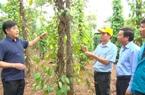 Vực lại những vườn hồ tiêu ở Quảng Trị sau mưa lũ: Chuyên gia bày cách phục hồi nhanh nhất