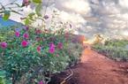 Đắk Lắk: Tốt nghiệp đại học, 9X bỏ việc ở phố về quê trồng vườn hoa hồng quý hiếm, thơm khắp xóm, ai cũng khen