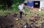 Hải Dương: Thả rông gà đặc sản trên đồi, bán gần 10.000 tấn/năm, nhiều nông dân thu hàng trăm triệu