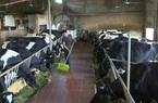 Lãi to nhờ nuôi đại gia súc quy mô lớn