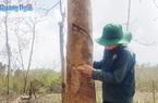 """Quảng Ngãi: Trong vòng 20 năm dân huyện Bình Sơn 2 lần trồng cao su, vì sao loài cây này giờ đây hết """"đất sống""""?"""