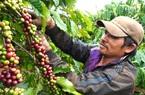 Tây Nguyên: Cà phê chín đỏ vườn, người thuê hái lắc đầu bỏ đi
