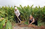 Hưng Yên: Vùng đất bãi sông trồng thứ cây tốt quá đầu người, cuối năm cuốc 1 nhát bật lên cả chùm củ vàng