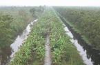 Bị ngập úng, nhiều vườn chuối đứng trước nguy cơ mất trắng mùa vụ