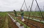 Quảng Nam: Làng rau VietGAP lớn nhất vùng tất bật vào vụ Tết