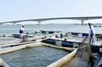 Phát triển bền vững nghề nuôi cá lồng bè ở Long Sơn