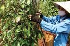 Giá nông sản hôm nay (28/12): Cà phê đi ngang, lợn hơi chưa có dấu hiệu giảm tốc