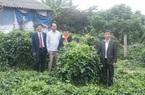 """Bắc Giang: Một ông nông dân trồng sâm nam """"bảo bối"""", mọc như bụi rậm, 5 năm mới được đào củ, bán giá 1,5-2 triệu/kg"""