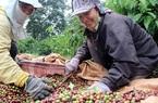 Giá nông sản hôm nay (29/12): Lúa gạo neo ở mức cao, cà phê giữ giá