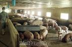 """Hưng Yên: Giá lợn, giá bò bất ngờ """"rủ nhau"""" tăng từng ngày dù còn hơn 1 tháng mới đến Tết """"con trâu"""""""