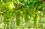 Đồng Nai: Lạ, nông dân trồng bắp bán thân cây, trồng nho bán lá cho doanh nghiệp muối chua xuất khẩu