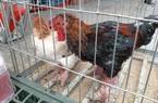 Hưng Yên: Mang đến hội chợ thứ gà đặc sản, 2 chân gồ ghề như gốc cây, ai xem cũng trầm trồ muốn mua