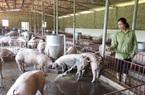 Giá heo hơi tăng, nhà nông gồng mình chăm đàn lợn đón thị trường Tết