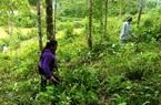 """Lợi ích """"kép"""" từ phát triển kinh tế rừng ở Điện Biên"""