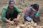 """Liên kết trồng gừng xuất khẩu, dân nghèo Lục Khu hết """"khát"""""""