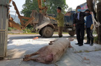 """Ninh Bình: Dịch tả lợn châu Phi """"tái xuất"""", xót xa khi 13.000 con lợn phải tiêu huỷ"""