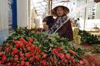 Hoa hồng Đà Lạt rớt giá thảm mùa Valentine