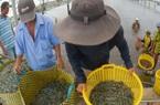 Cơ hội từ EVFTA: Chuẩn bị hành trang cho con tôm Việt sang EU