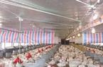 Giá gà công nghiệp Đông Nam bộ thấp chưa từng thấy