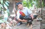 """Triệu phú gà """"tiến vua"""" sống khỏe giữa mùa dịch cúm"""