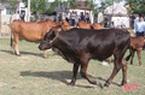 Nông dân đầu tiên ở Hà Tĩnh nuôi bò đực sữa