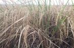 Gia Lai: Hạn hán do…công ty trồng tái canh cây cao su?